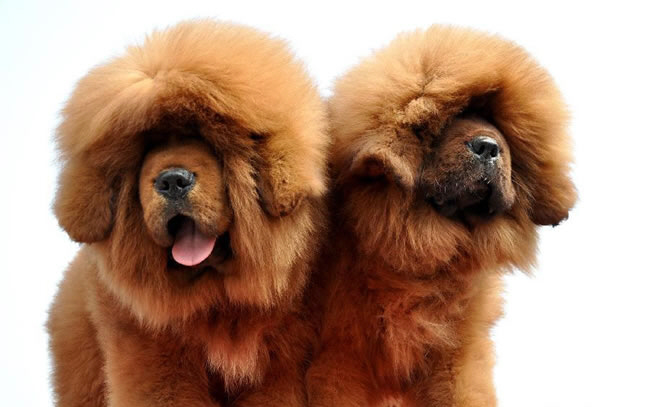 Tibetan Mastiff Dog Facts, Pictures and More 6