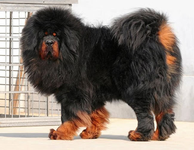 Tibetan Mastiff Dog Facts, Pictures and More 7