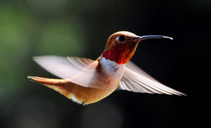 beautiful creatures - humming bird (12)