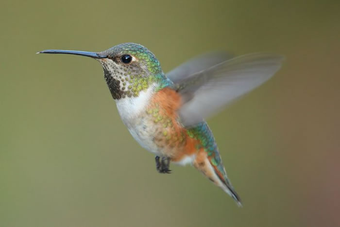 beautiful creatures - humming bird (9)