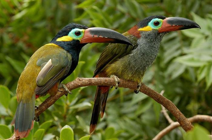beautiful creatures - toucans (3)