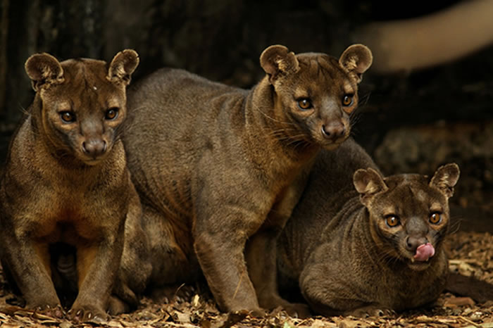 Today s beautiful creatures from madagascar the fossa