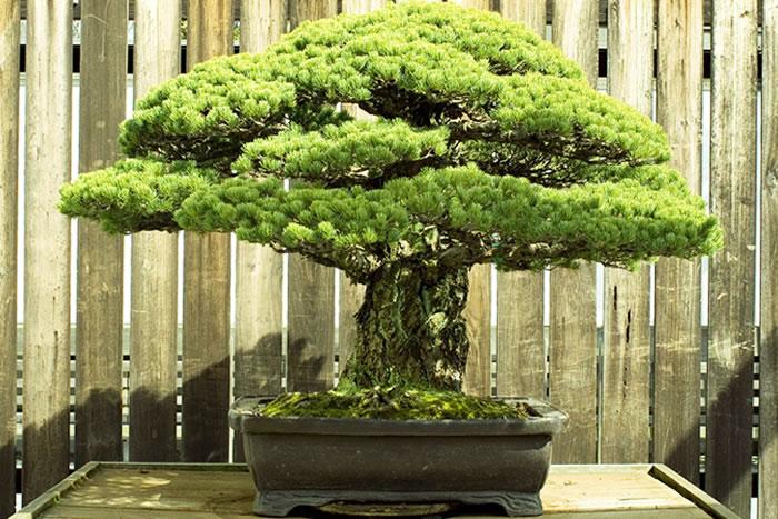 bonsai survived hiroshima
