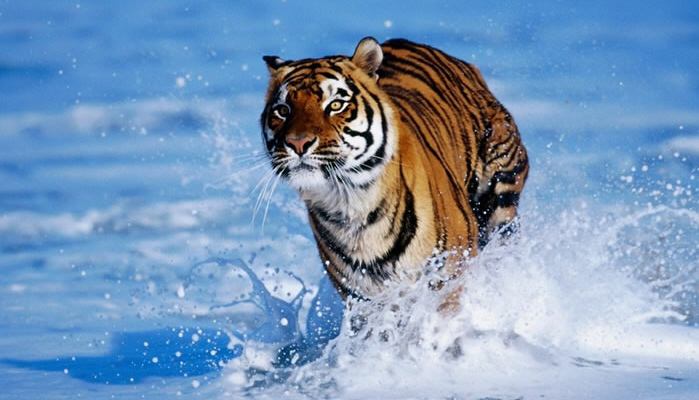 how to survive a tiger attack 1
