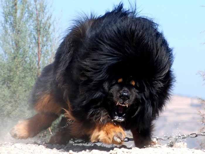 most expensive dog in the world - (4)