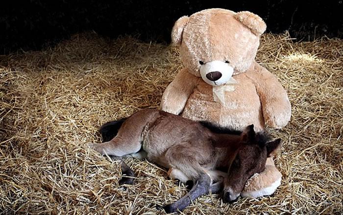 teddy bear adopts foal (1)