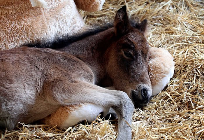teddy bear adopts foal (2)