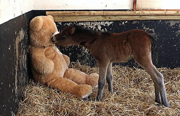 teddy bear adopts foal (3)