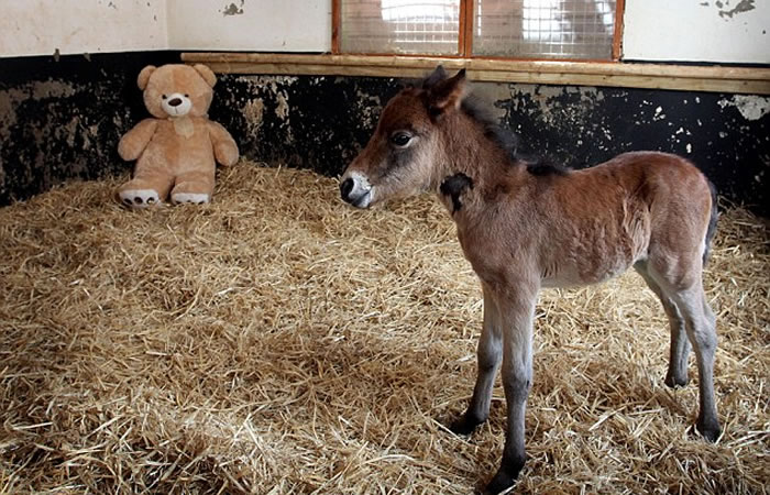 teddy bear adopts foal (4)