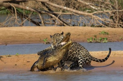 Jaguar Attacks Crocodile In Brazil - Video
