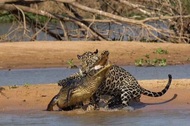 Jaguar Attacks Crocodile In Brazil - Video