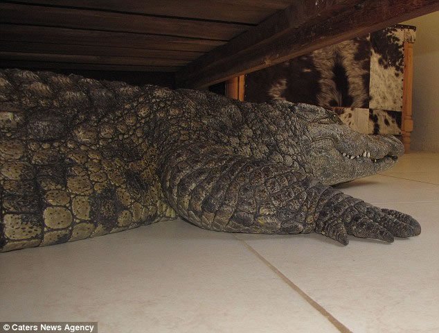 Man Wakes To Find 8 Foot Crocodile Hiding Under His Bed 1
