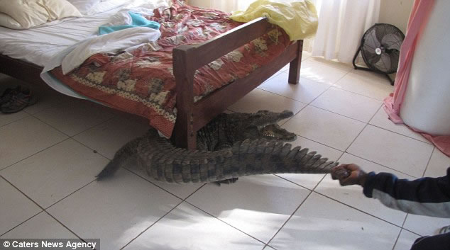 Man Wakes To Find 8 Foot Crocodile Hiding Under His Bed 2