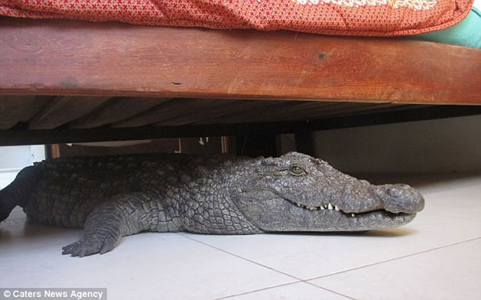 Man Wakes To Find 8 Foot Crocodile Hiding Under His Bed
