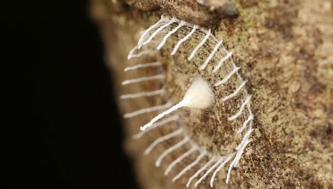 Mysterious Bug Builds Fence Around Eggs For Protection  1