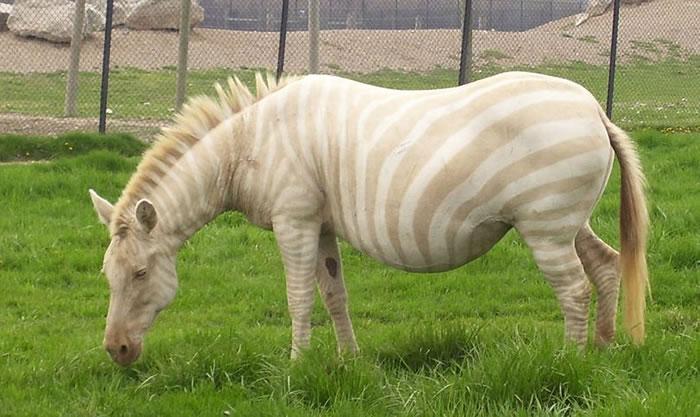 albino (5)