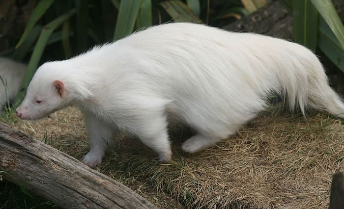 albino animals (17)