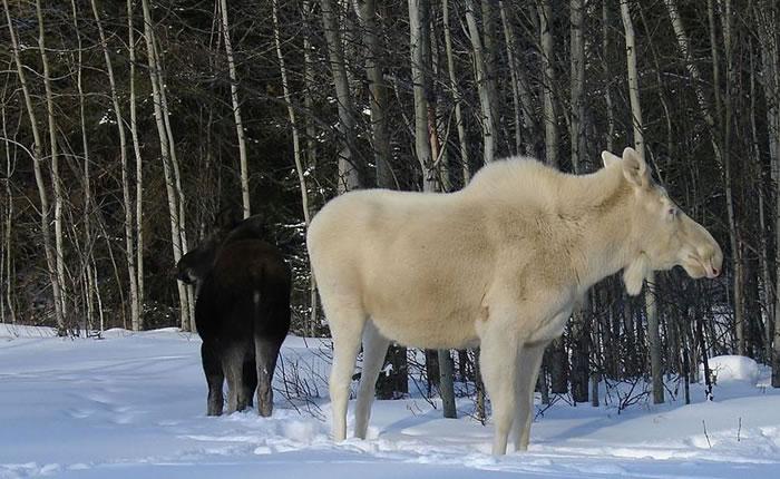 albino animals (18)