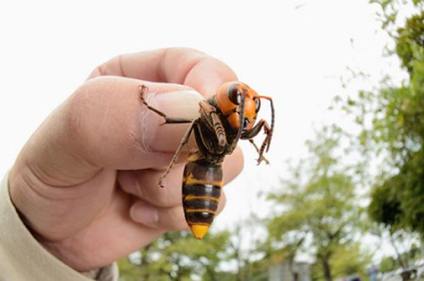 asian giant hornet china