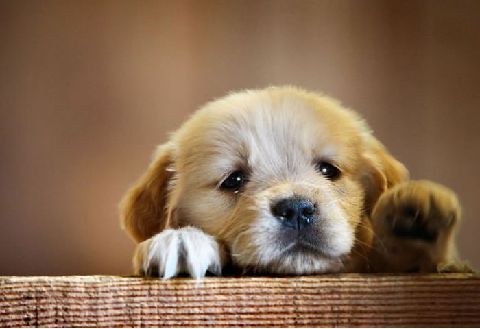 Who wants one  check out ten of the cutest puppies in the world Cutest Puppies In The World 2013