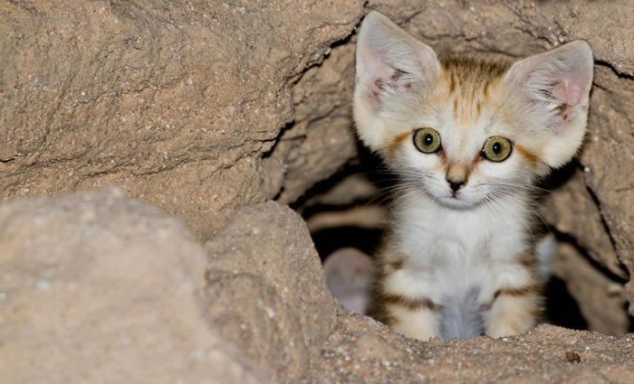 daily cuteness - sand cat (1)