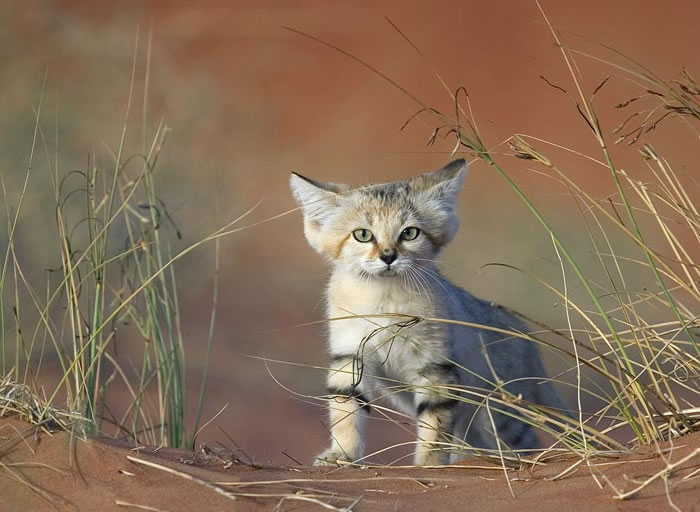 daily cuteness - sand cat (2)