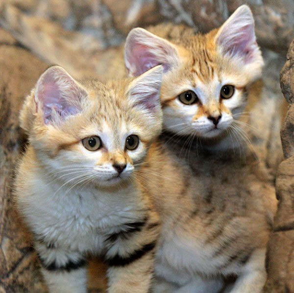daily cuteness - sand cat (3)