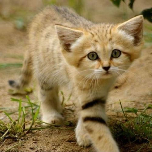 daily cuteness - sand cat (4)