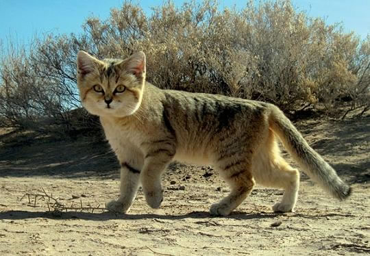 daily cuteness - sand cat (5)