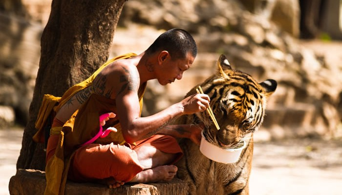 Monk And Tiger Sharing Their Meal – Picture Of The Day