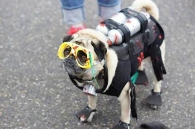 Dog Halloween Costumes 17 Crazy Pug Pics