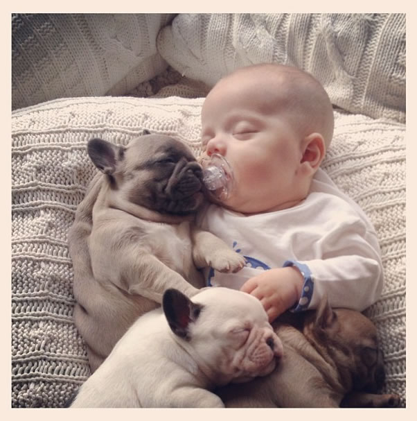 Baby French Bulldog Puppies