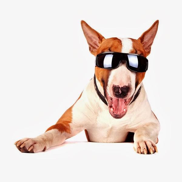 15. Cheerful bull terrier in sunglasses