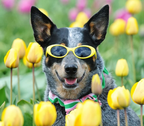 Custom Sunglasses For Dogs That Want To Look Cool In The Sun
