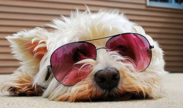 2. Dog in Sunglasses