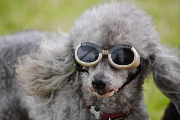 26. Cool Dog Sun Glasses
