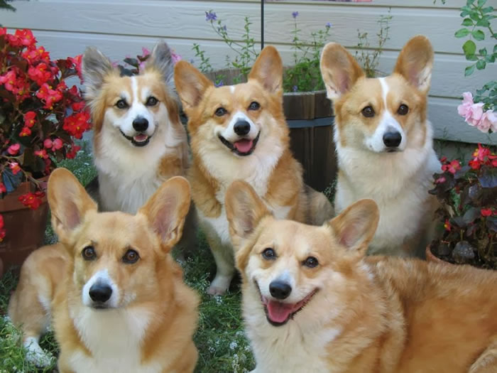 3. Corgi Family Portrait
