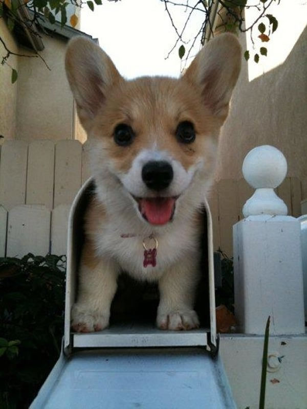 Pet Dogs Smiling -  20 Happy Corgis to Brighten Your Day 2