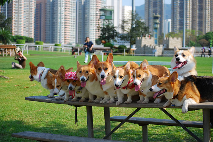 Pet Dogs Smiling -  20 Happy Corgis to Brighten Your Day 5