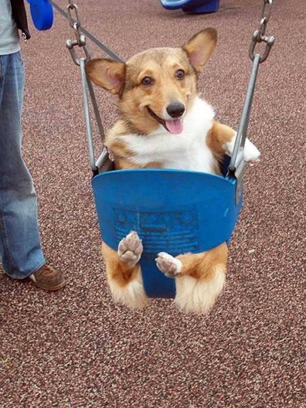 Pet Dogs Smiling -  20 Happy Corgis to Brighten Your Day