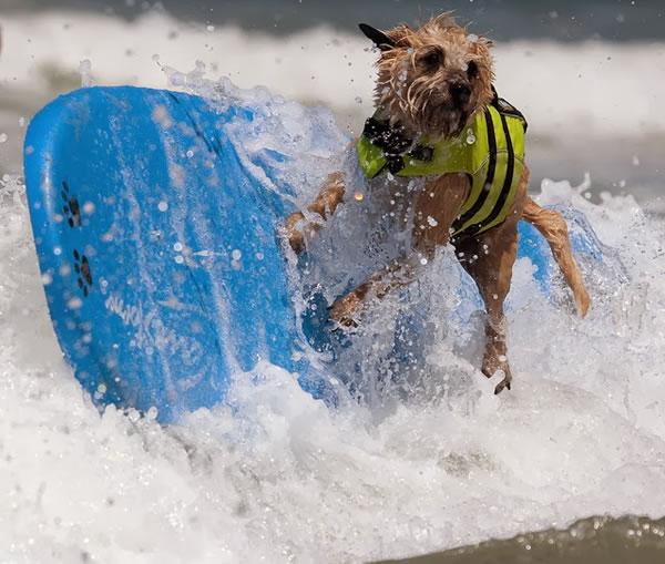 Surf City Surf Dog surfer surfing 1