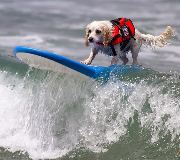 Surf City Surf Dog surfer surfing 13
