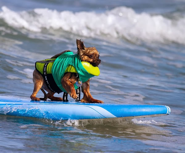 Surf City Surf Dog surfer surfing 15