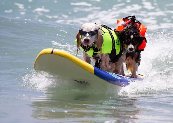 Surf City Surf Dog surfer surfing 19