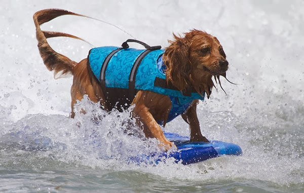 Surf City Surf Dog surfer surfing 2