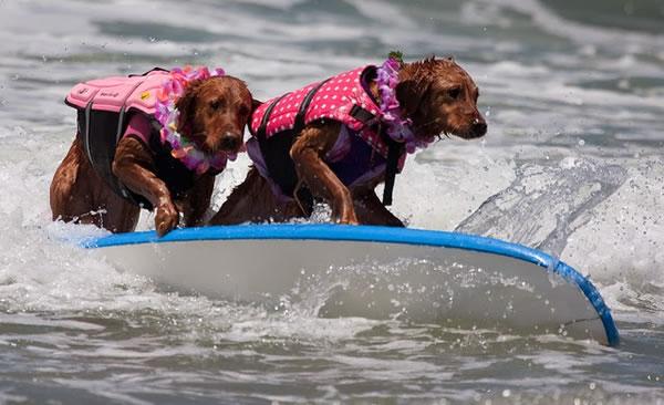 Surf City Surf Dog surfer surfing 20