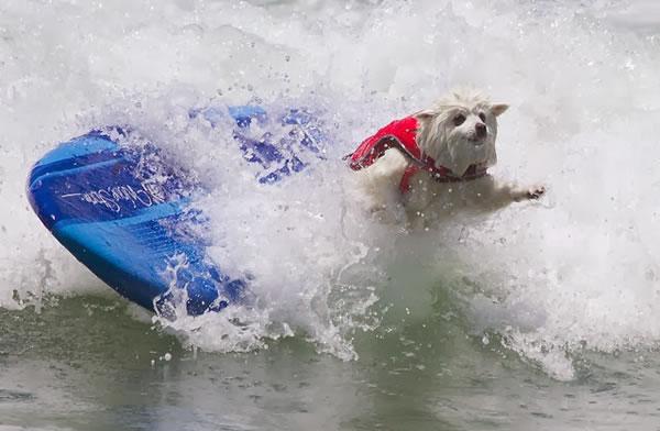 Surf City Surf Dog surfer surfing 21