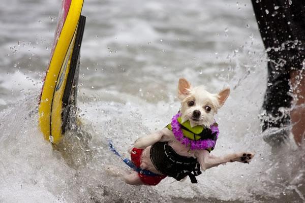 Surf City Surf Dog surfer surfing 22