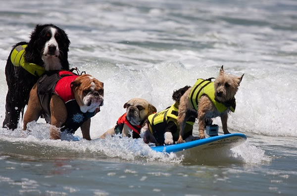 Surf City Surf Dog surfer surfing 23