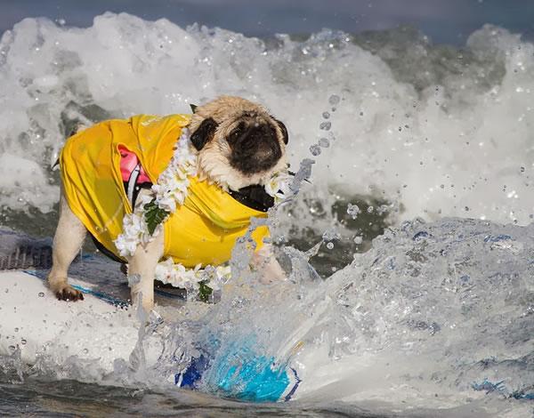 Surf City Surf Dog surfer surfing 26